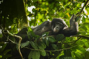 Bonobo in Salonga National Park - Alamy